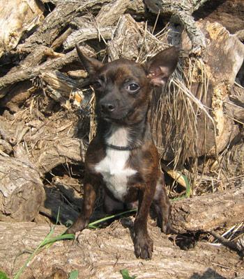 Boston Terrier/Chihuahua Mix: An adoptable dog in Auburn, NE