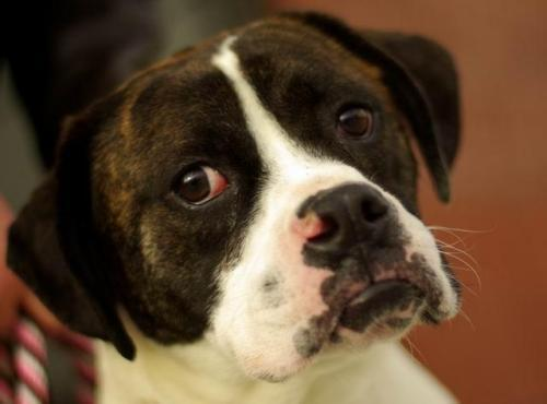 Boxer Dogs For Sale Boise Idaho