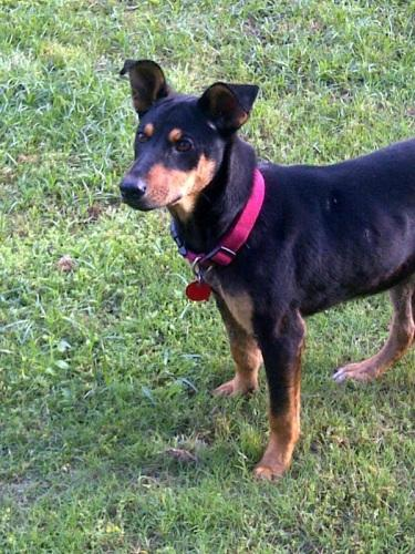 Pinscher Doberman Shepherd-Mix