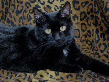 Domestic Short Hair: An adoptable cat in Boulder, CO