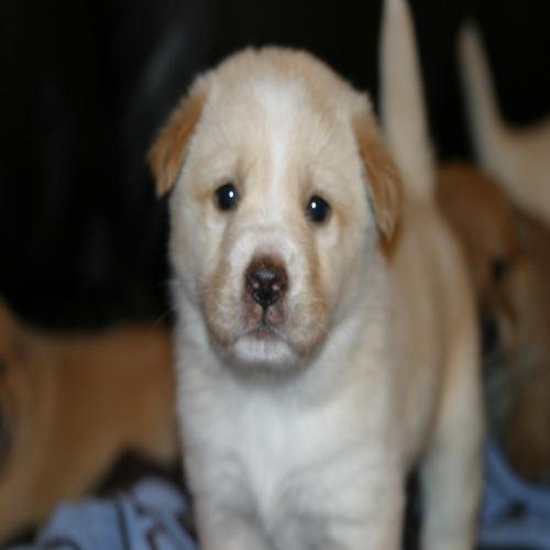 Golden Retrieveraustralian Shepherd Mix An Adoptable Dog In