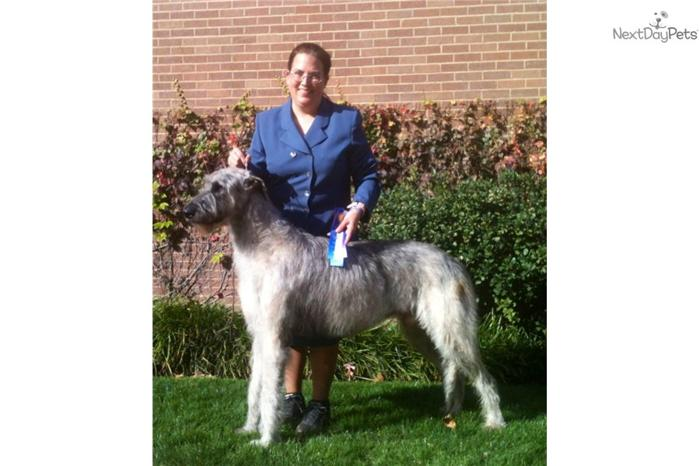 Irish Wolfhound Puppy For Sale for Sale in Wichita, Kansas