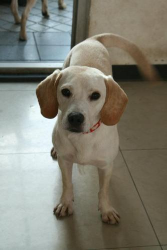 Labrador Retriever/Beagle Mix: An adoptable dog in Wilmington, DE for ...