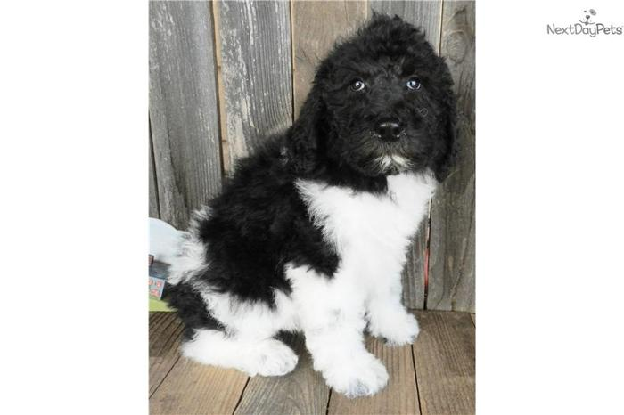 Maddie - The Sheepadoodle for Sale in Abilene, Texas Classified