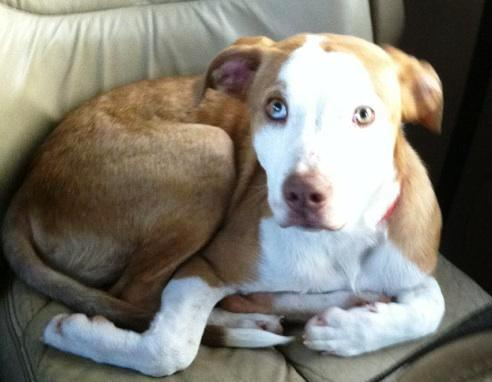Pit Bull Terrier/Australian Shepherd Mix: An adoptable dog in Lafayette, IN