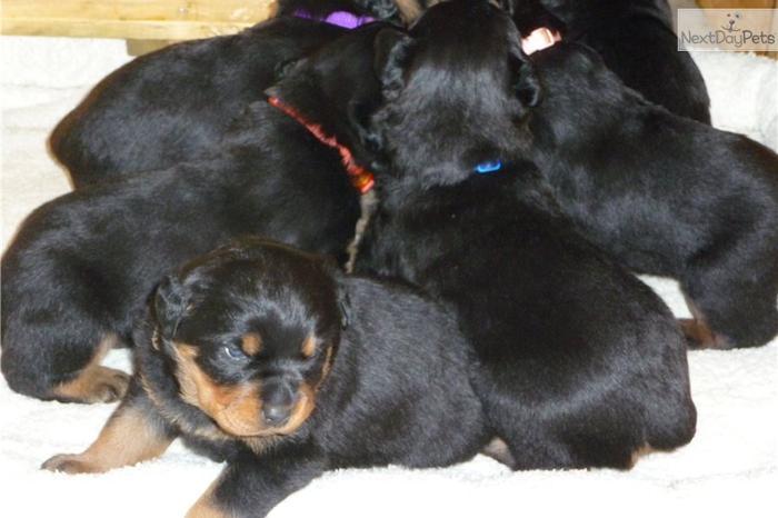Rottweiler Puppy Newborn for Sale in Wichita, Kansas