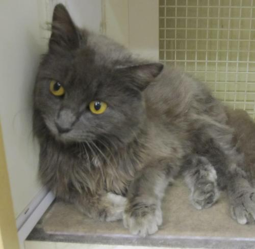 Russian Blue Domestic Long Hair Mix An Adoptable Cat In Statesboro