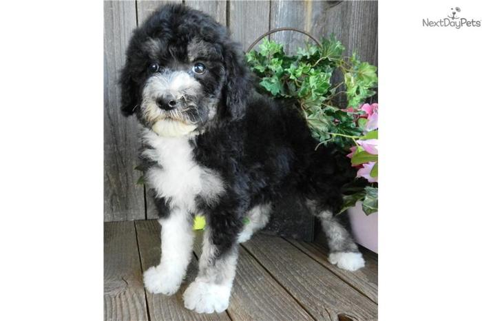 Sable The Sheepadoodle For Sale In Abilene Texas Classified