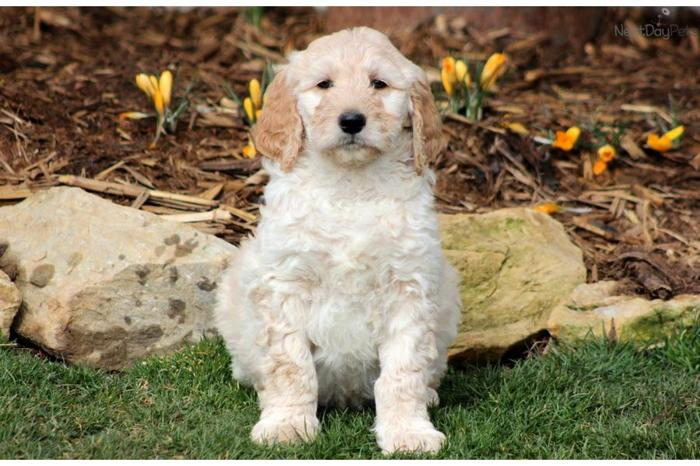 Scooter Goldendoodle Male For Sale In Lancaster