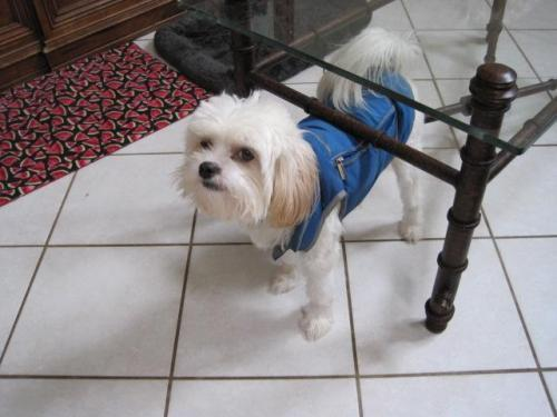 Shih Tzumaltese Mix An Adoptable Dog In Wilmington Nc For Sale In