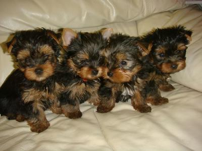 Vikymillian At Yahoocom Free Charming Teacup Yorkie Puppies For Sale