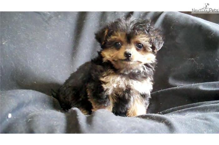 yorkie poo for sale in michigan